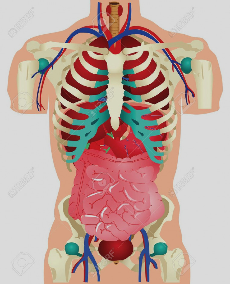 Chest excellent skeletal anatomy. Body clipart human biology