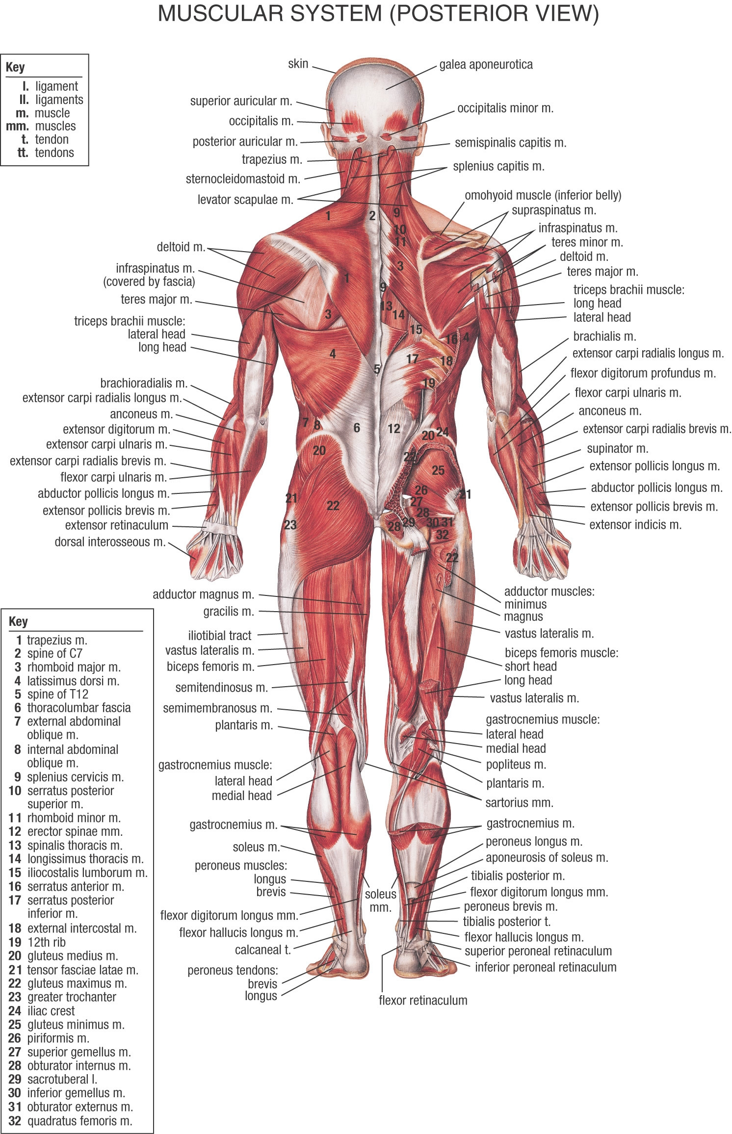 Body clipart human biology. Anatomy google lifeinharmony adductor