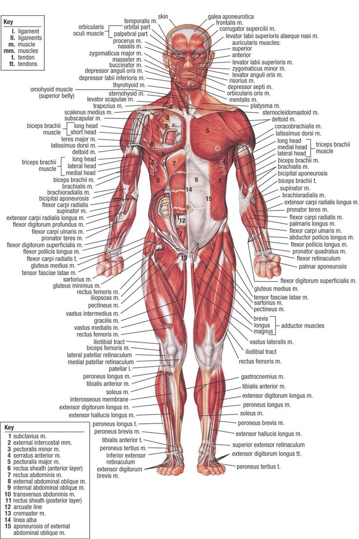 Whole picture anatomy pencil. Body clipart human body