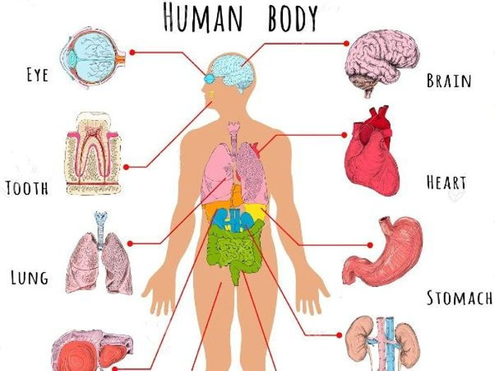 Body clipart organ. Organs in incep imagine