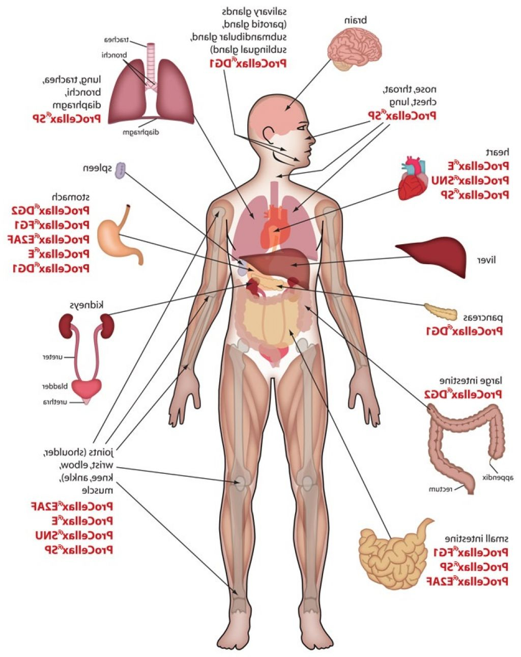 Body clipart organ. Map of the human