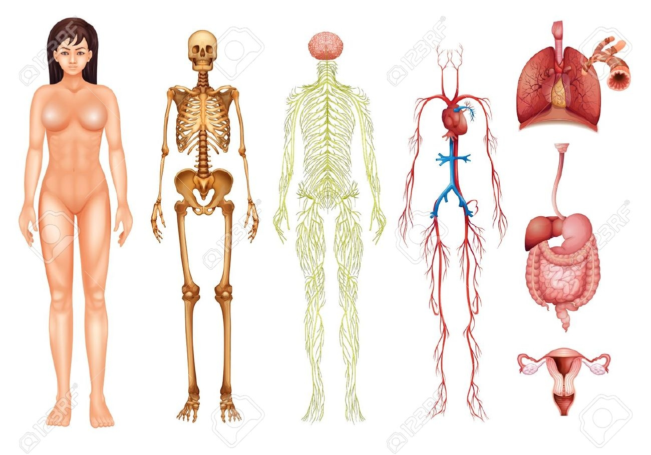 Systems of the fosfe. Body clipart organ