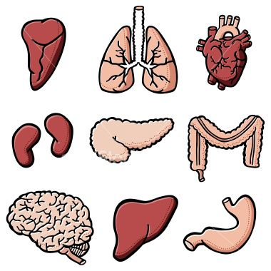Body clipart organ. Charmant pictures of organs