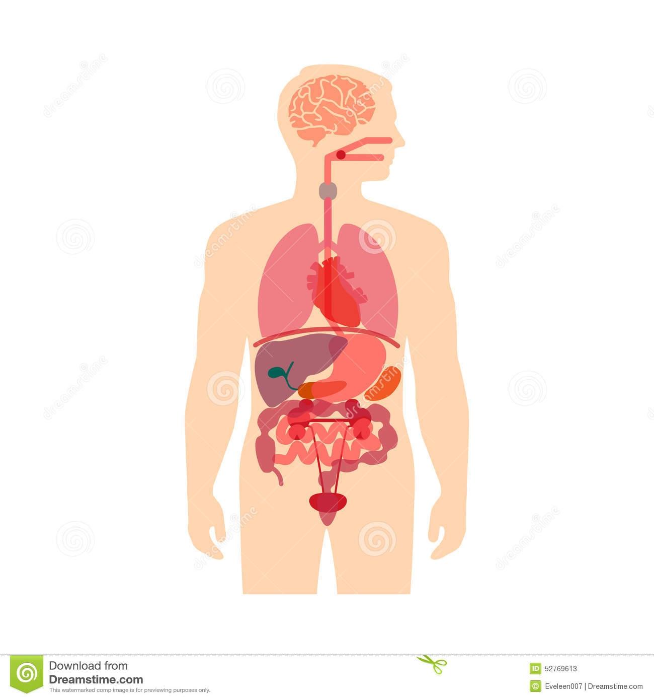 Body clipart organ. System fosfe com clipartfest
