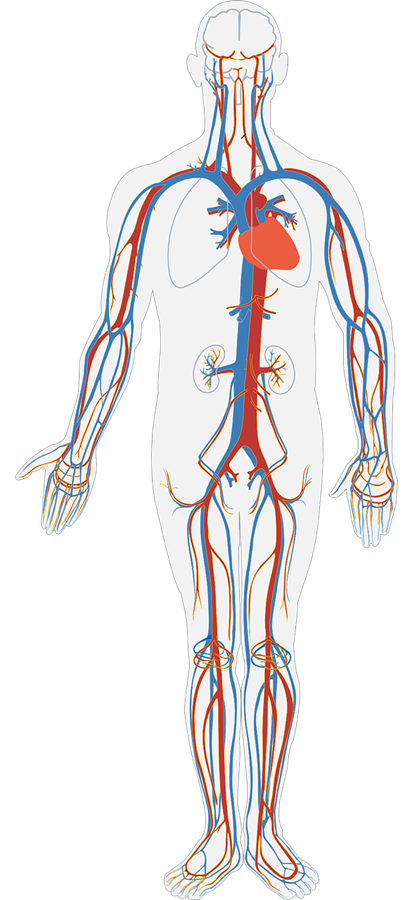 Body clipart transparent.  collection of human