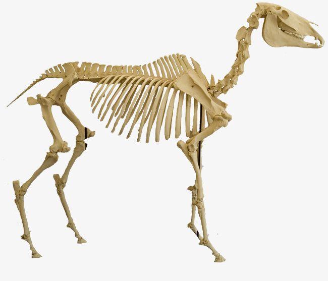 Png . Bones clipart animal bone