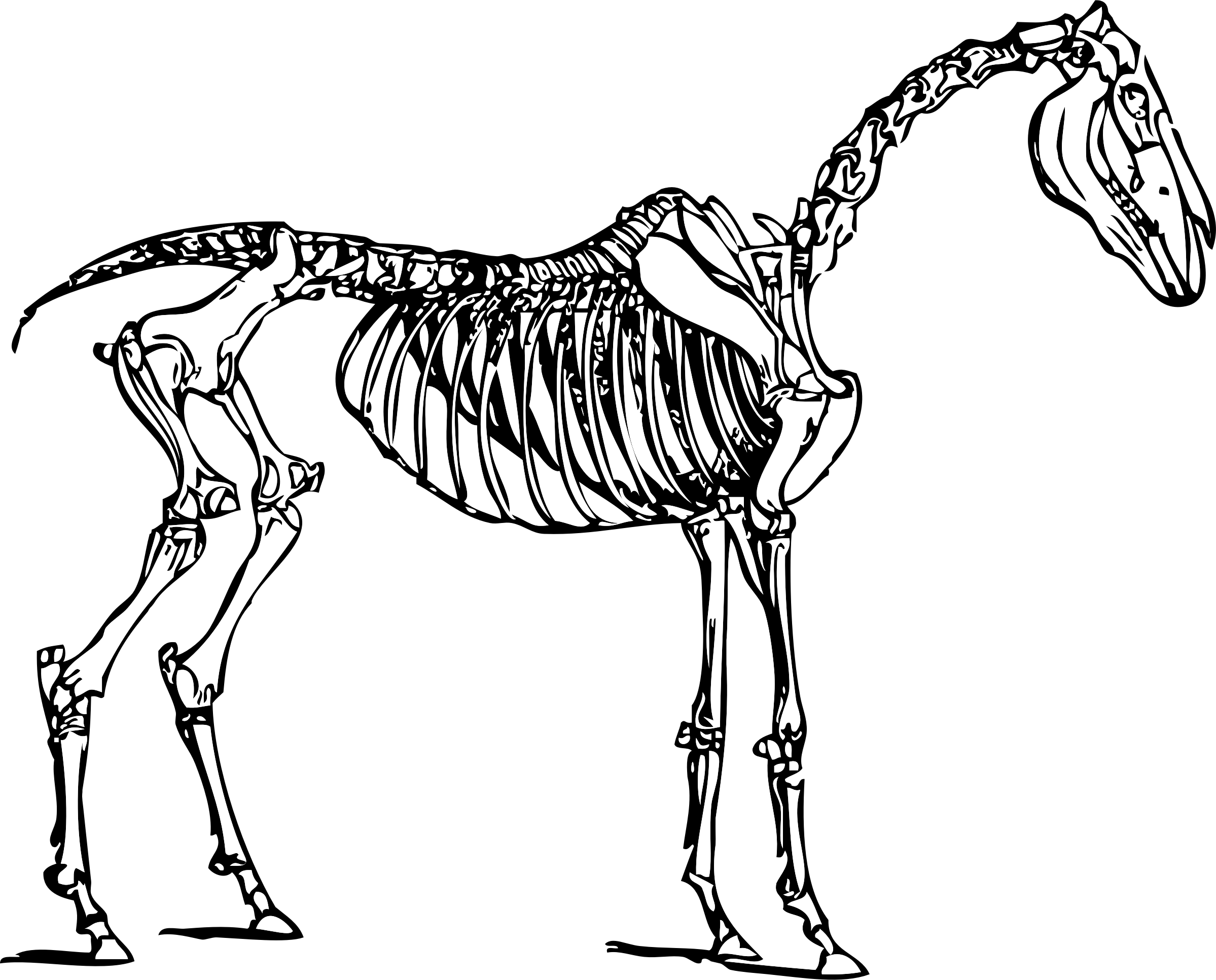 Horse skeleton big image. Bone clipart animal bone