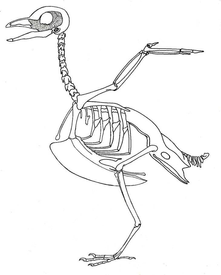 Anatomy of skeleton etc. Bone clipart bird