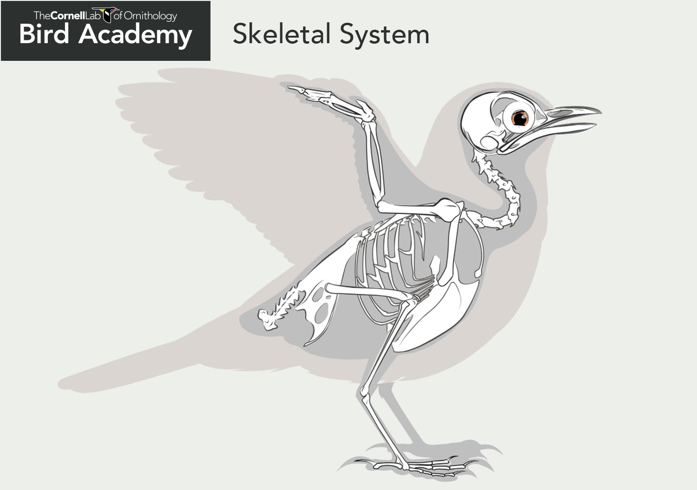 Anatomy of bones tweetboard. Bone clipart bird