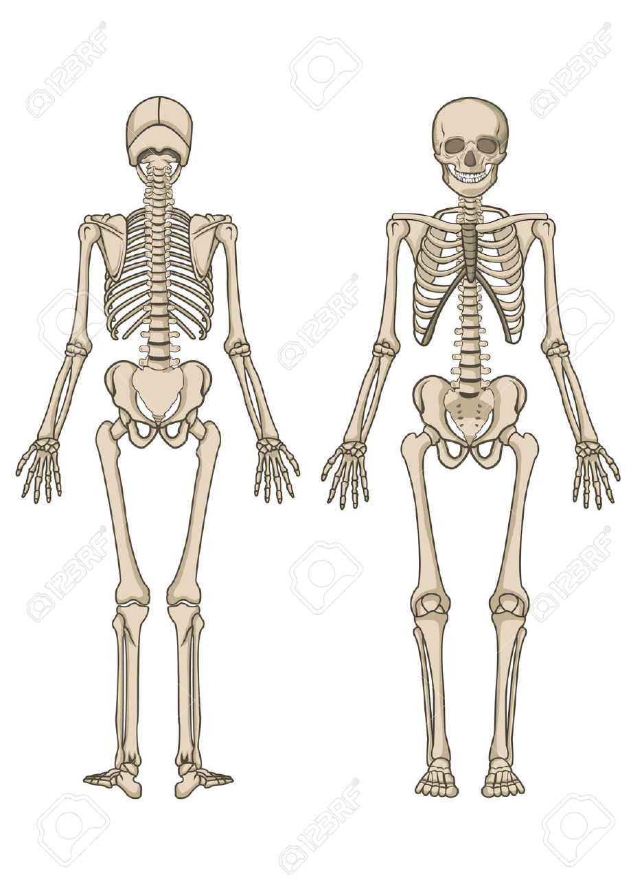 The human skeletal system. Bone clipart body