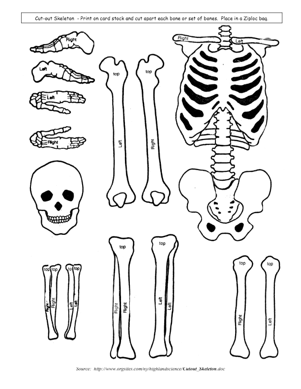 Bone clipart cut out. Skeletal system model outs