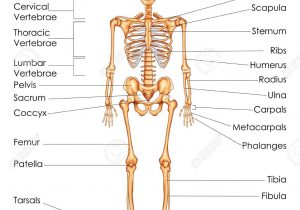 Bone clipart human biology. Skeletal system anatomy and