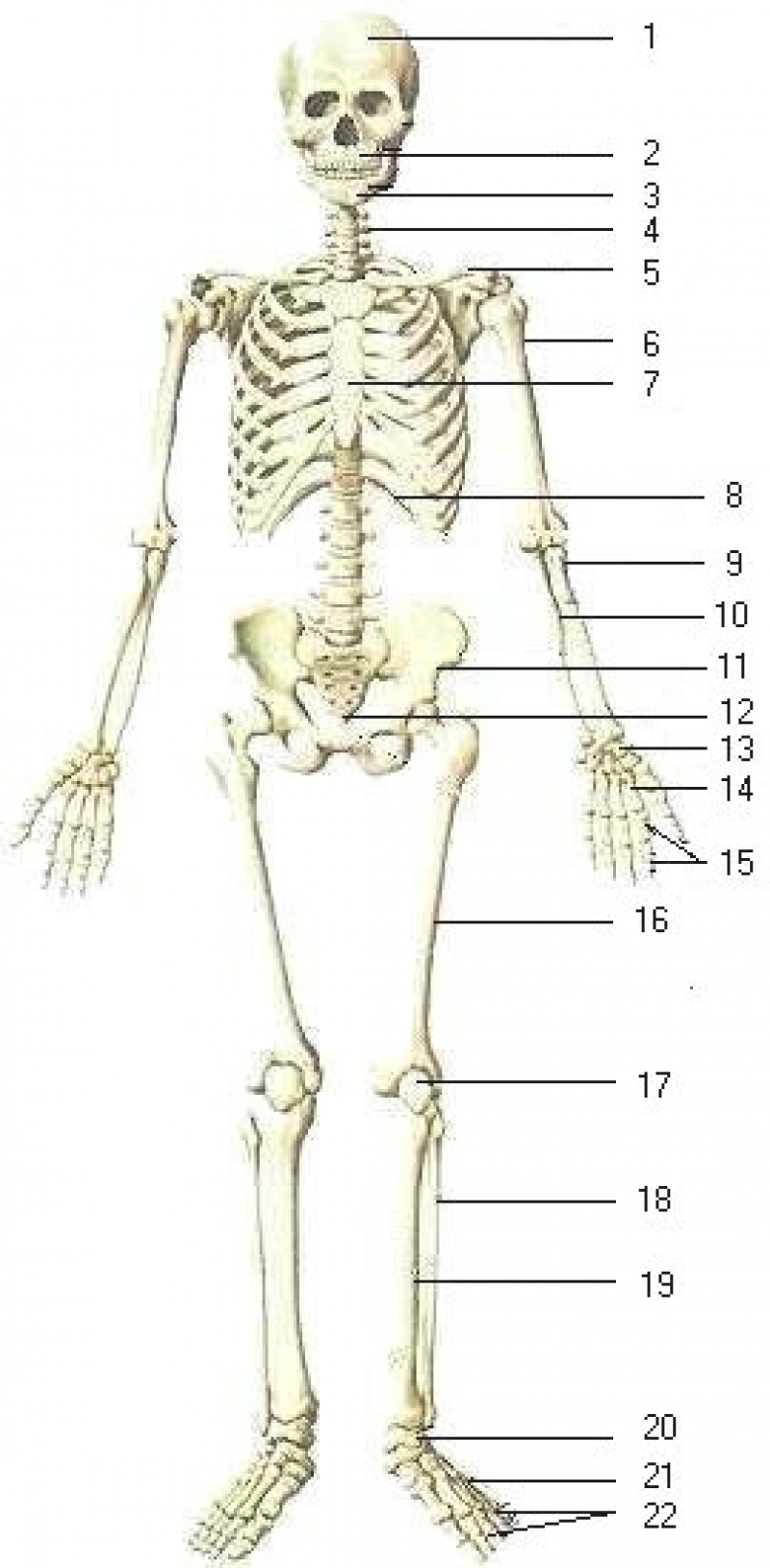 bone clipart human biology