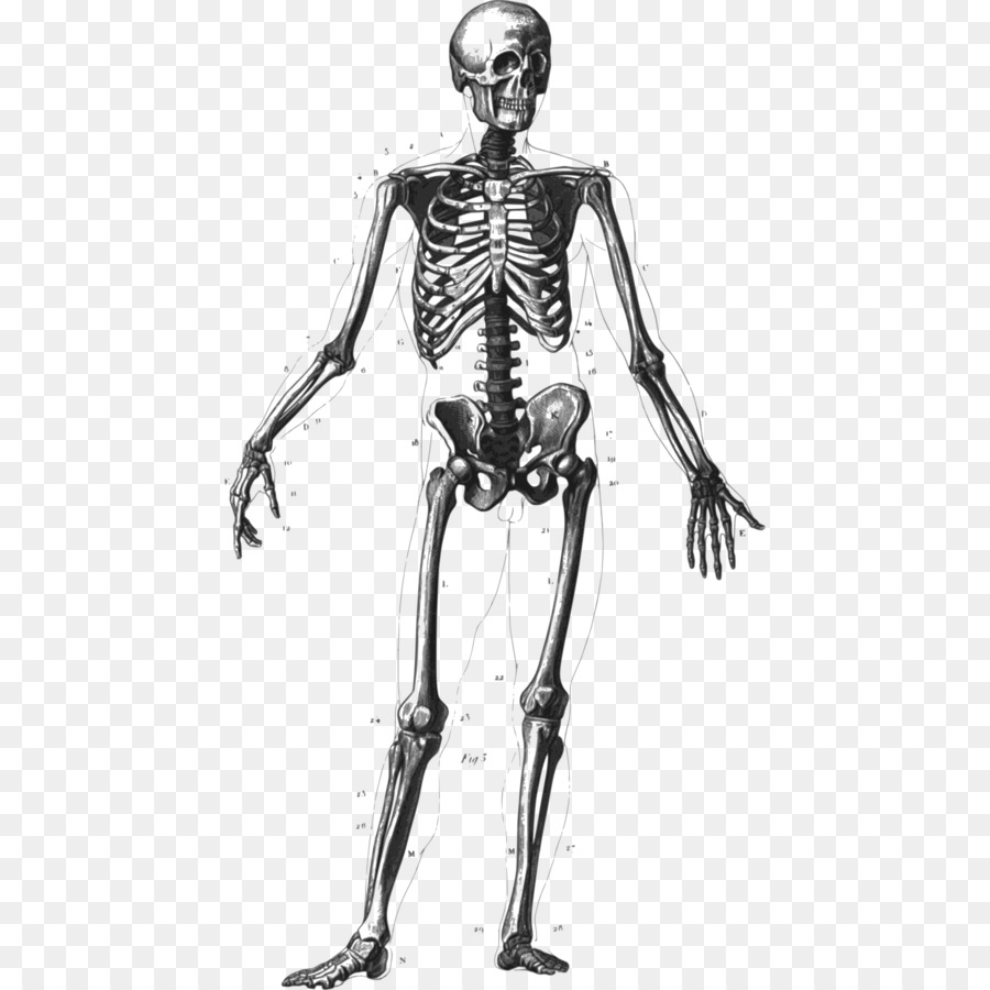 Bone clipart human biology. Skeleton body homo sapiens
