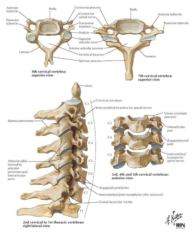 Bone clipart strong bone. Anatomy