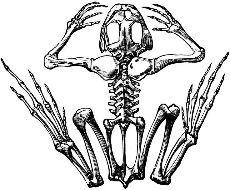 Bones clipart animal bone.  best skeletons images