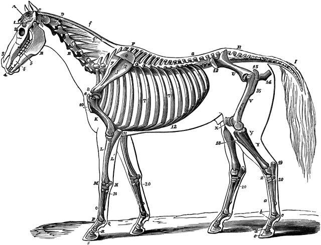 Bones clipart animal bone.  best skeletons and