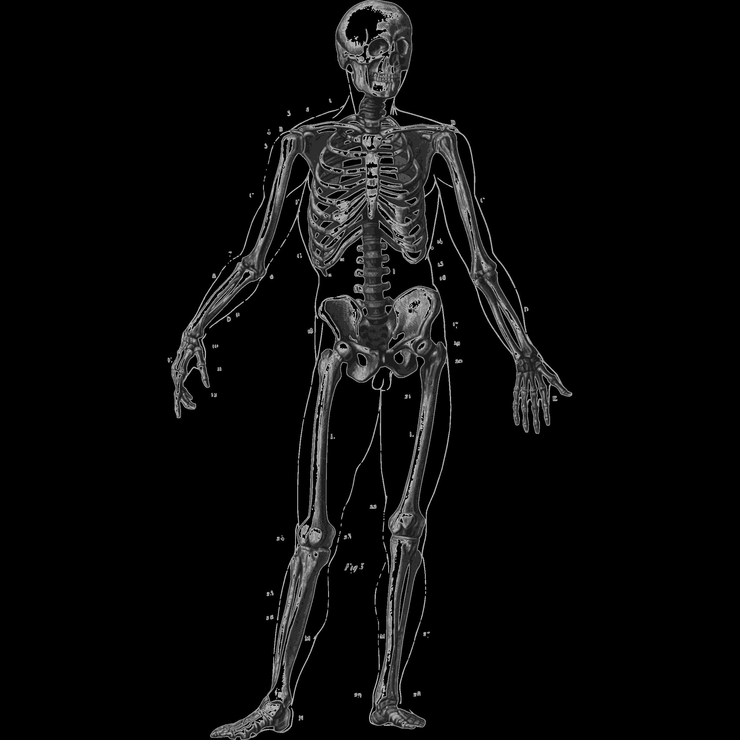 Human biology skull trippy. Skeleton clipart unlabelled