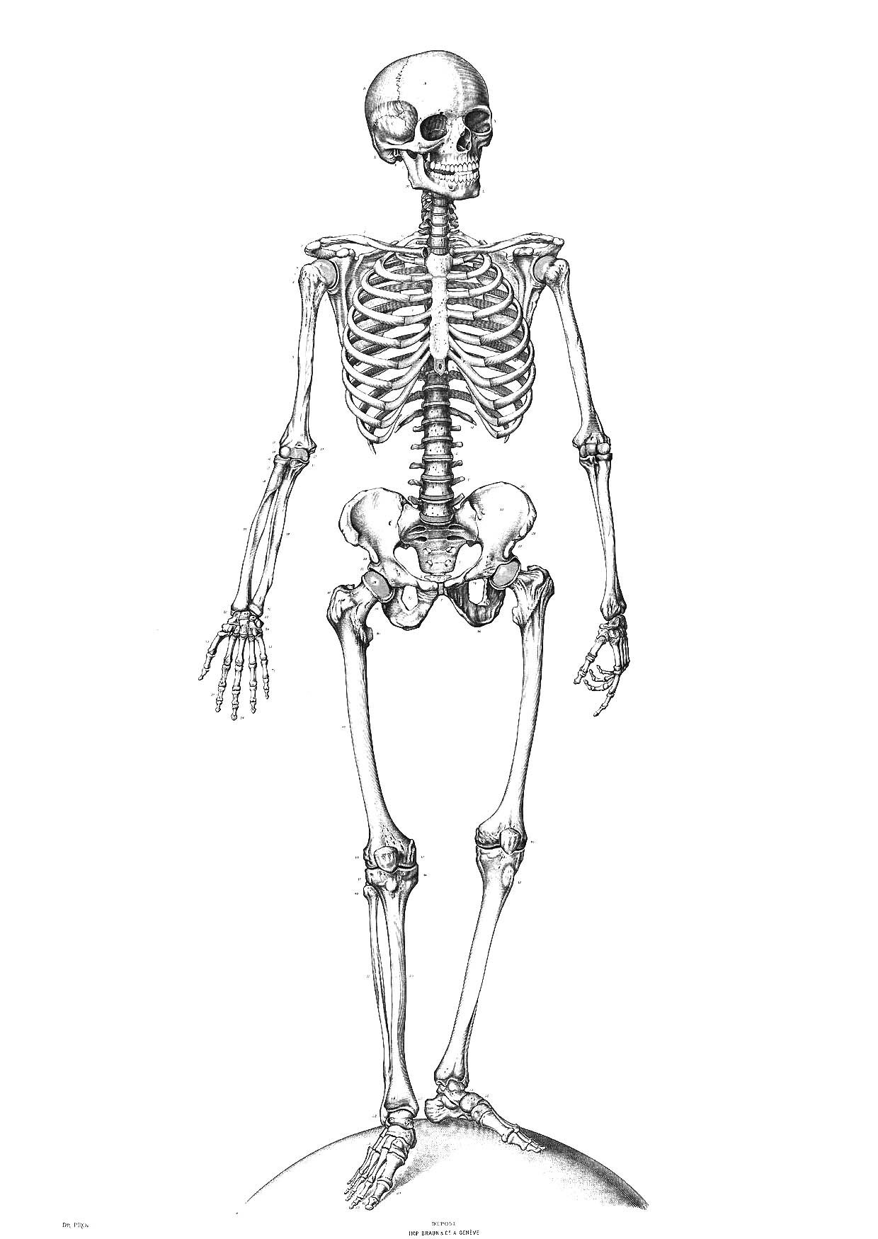 Free printable skeleton coloring. Bone clipart human biology