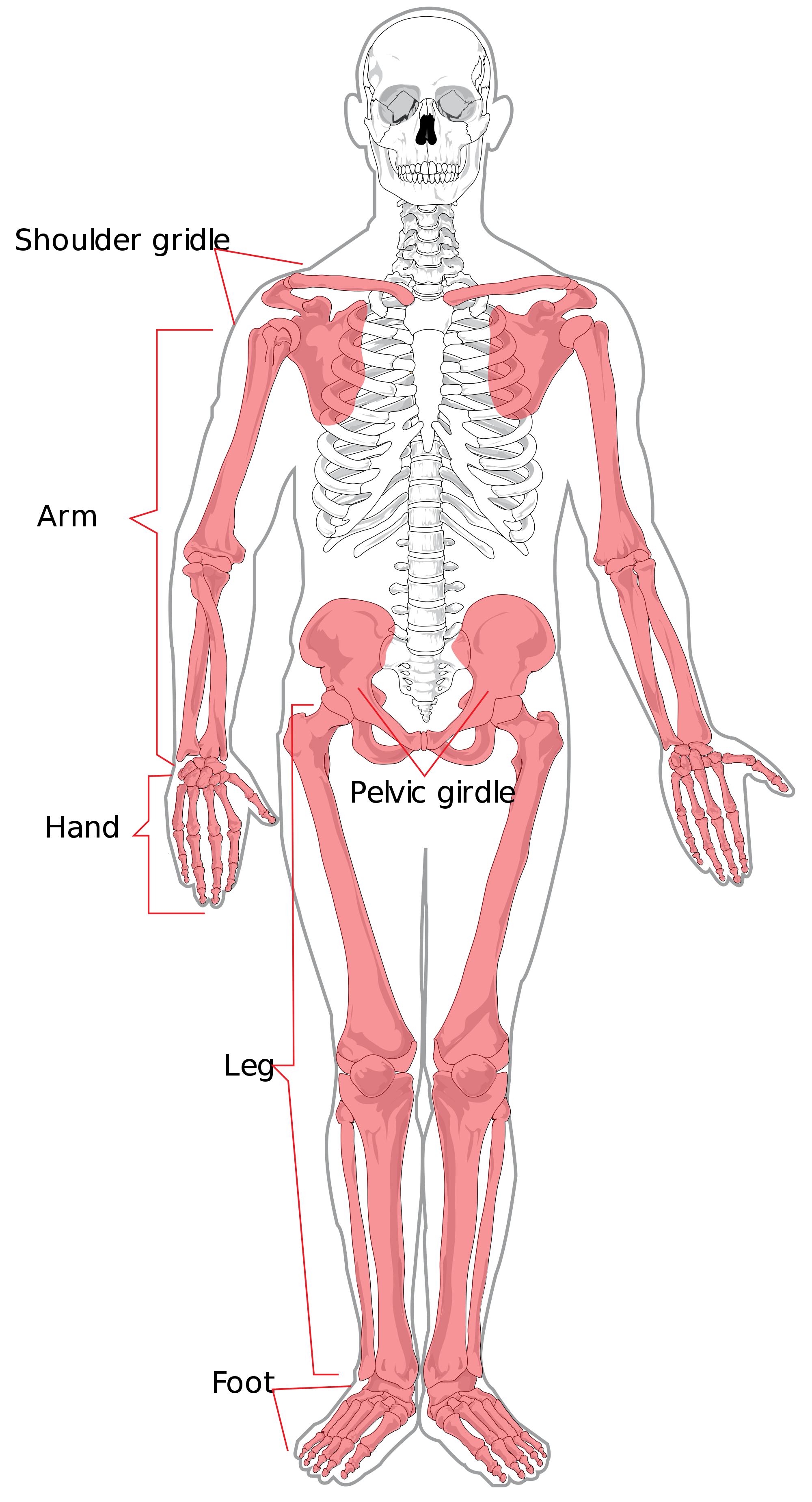 Human clipart anatomical body. File appendicular skeleton diagram