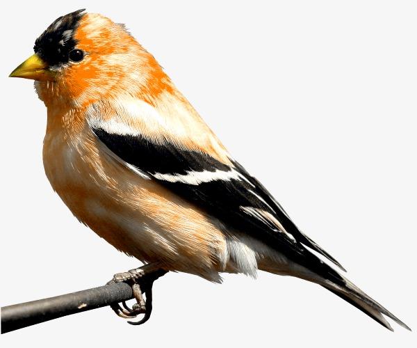 Boobs clipart robin red. Beak tits black tit