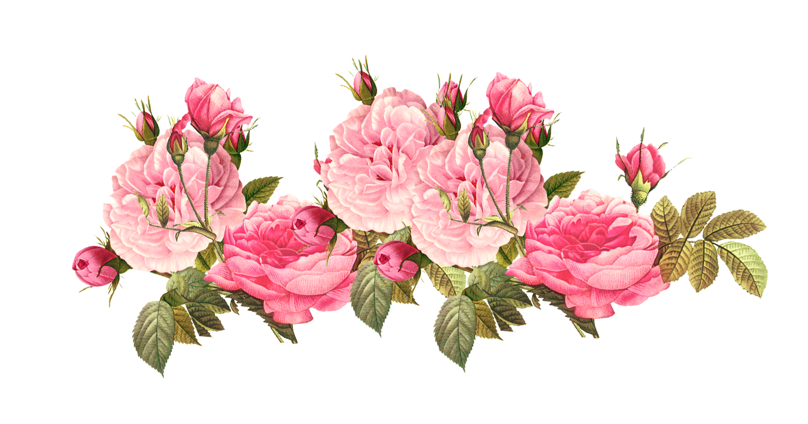 Poppy clipart vintage. Pink free rose borders