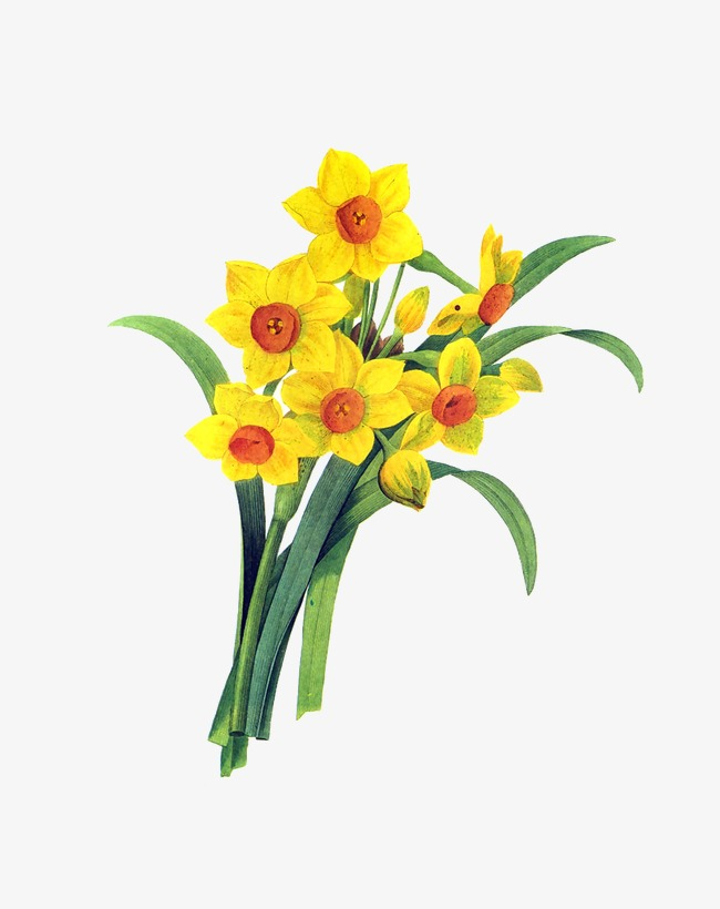 Bouquet clipart daffodils. Yellow plant png image