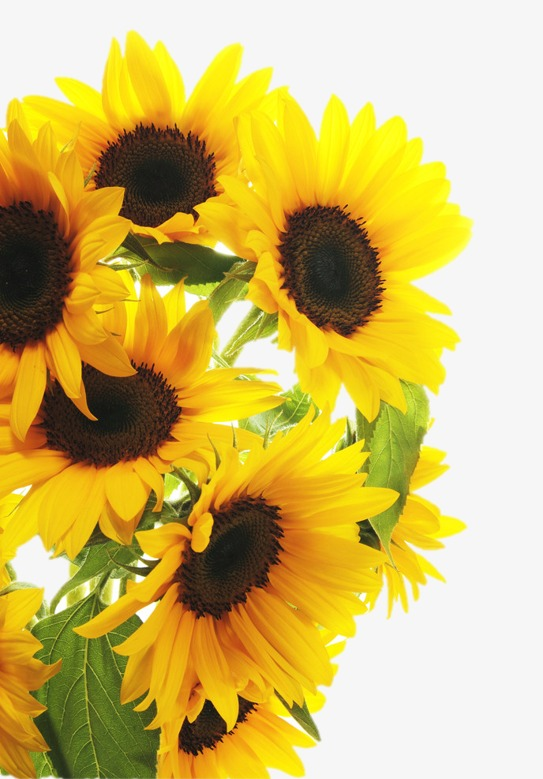 Bouquet clipart sunflower bouquet. Yellow png image and