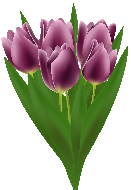 Bouquet clipart tulip. Tulips transparent png clip