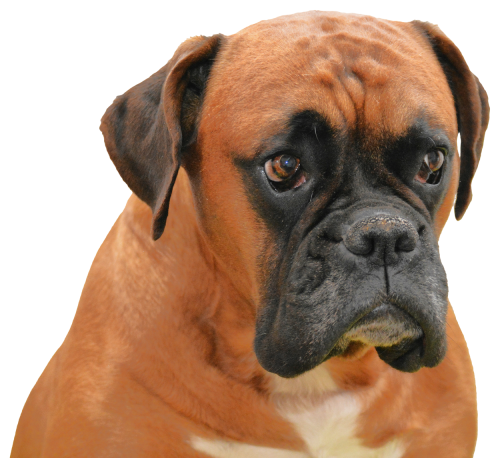 Boxer clipart boxer dog. Png transparent image pngpix