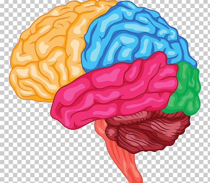 Brain clipart anatomy, Brain anatomy Transparent FREE for ...