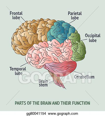Clipart brain brain function. Vector stock parts of