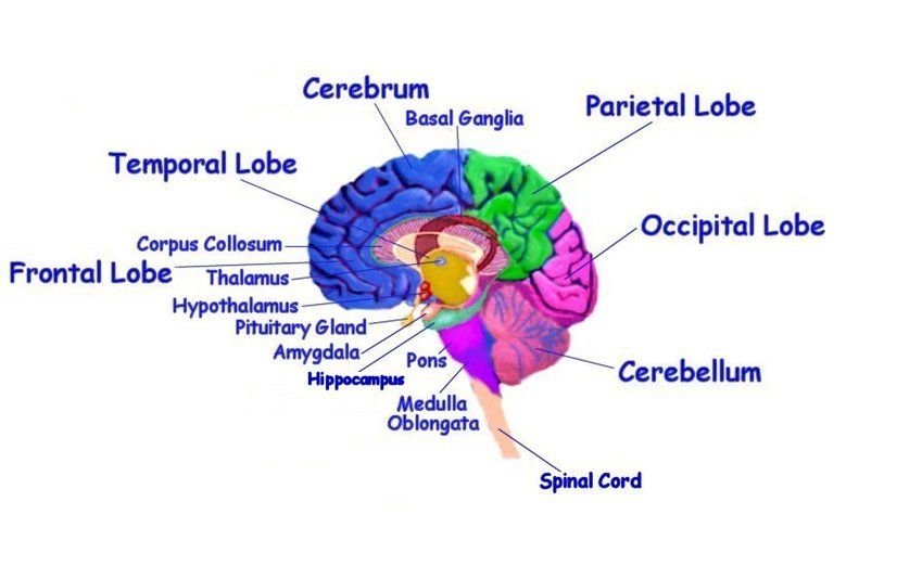Imgs for diagram kids. Brain clipart label