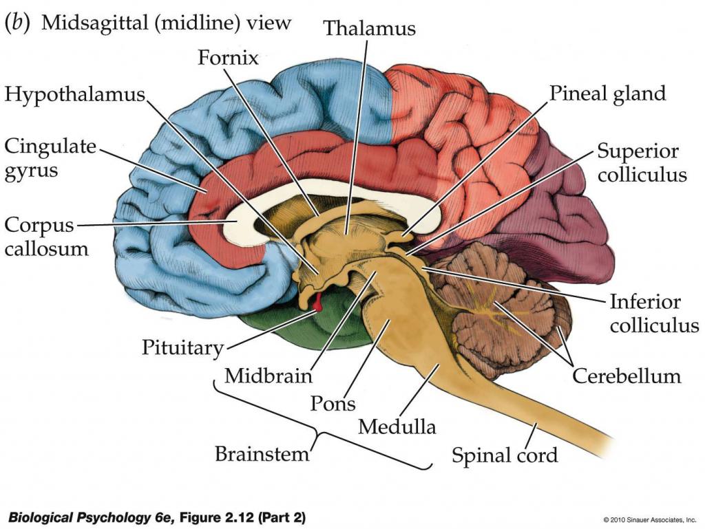 Anatomy labeling human photos. Brain clipart label