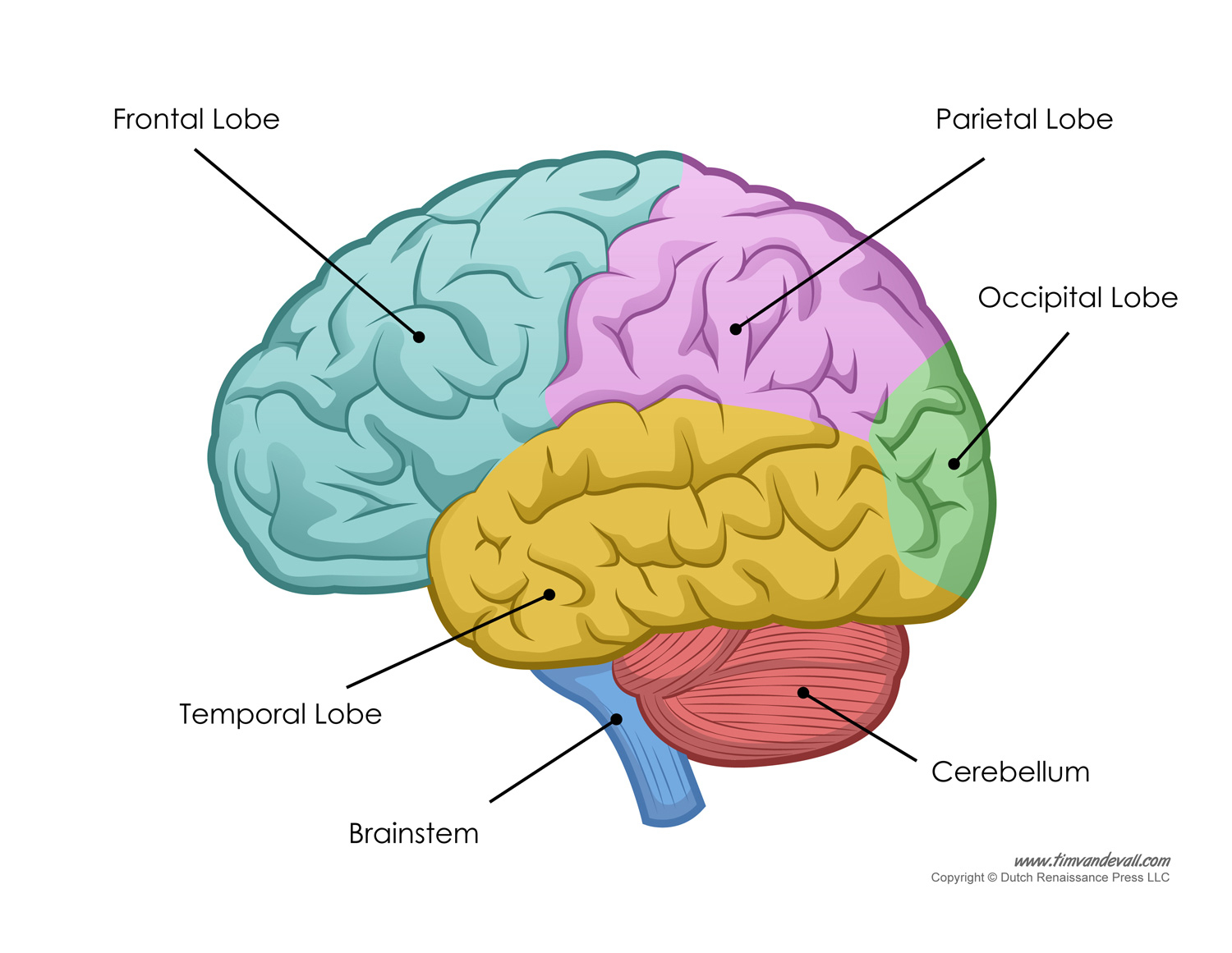 Brain clipart label. Anatomy labeling pencil and