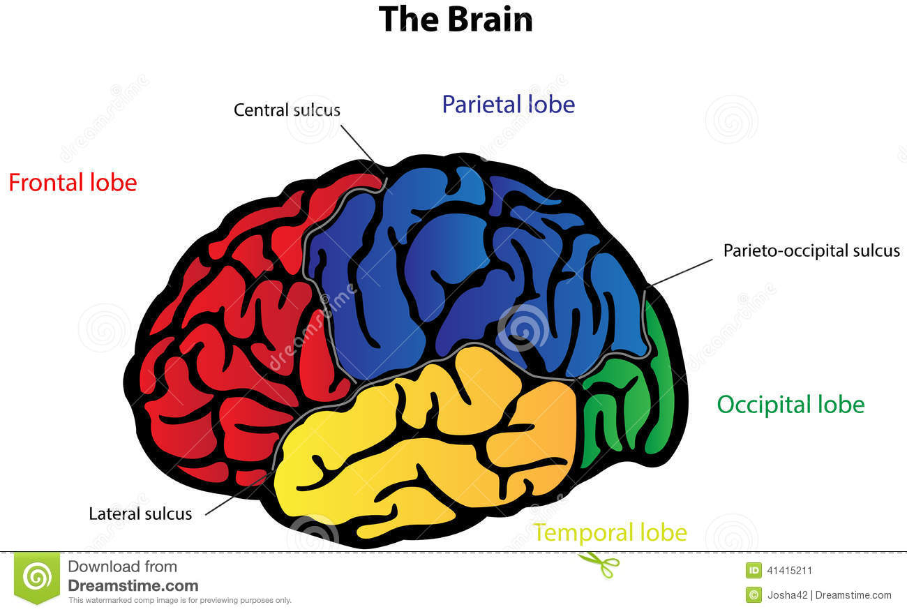 Brain clipart label. Diagram simple without labels