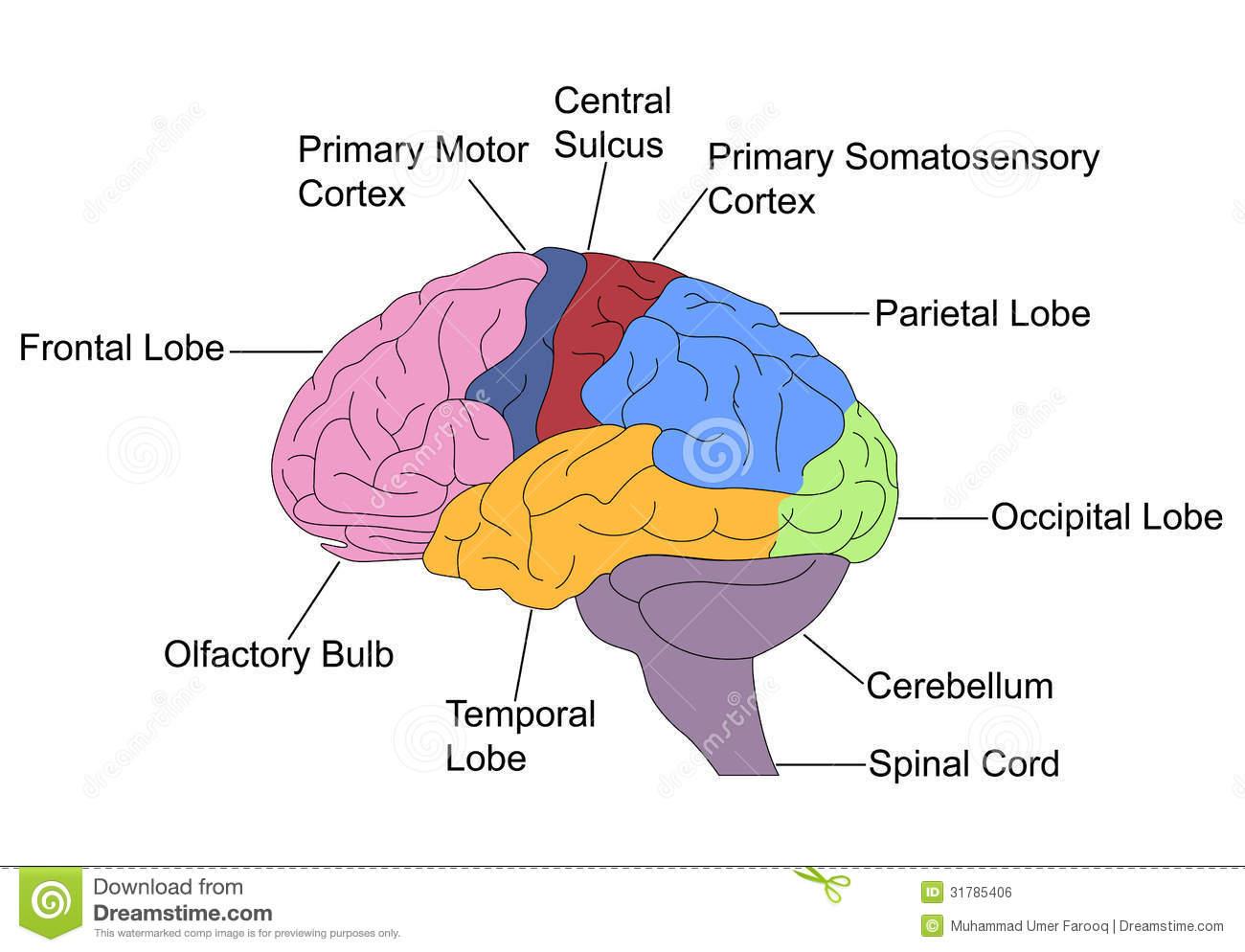 Brain clipart label. Diagram human