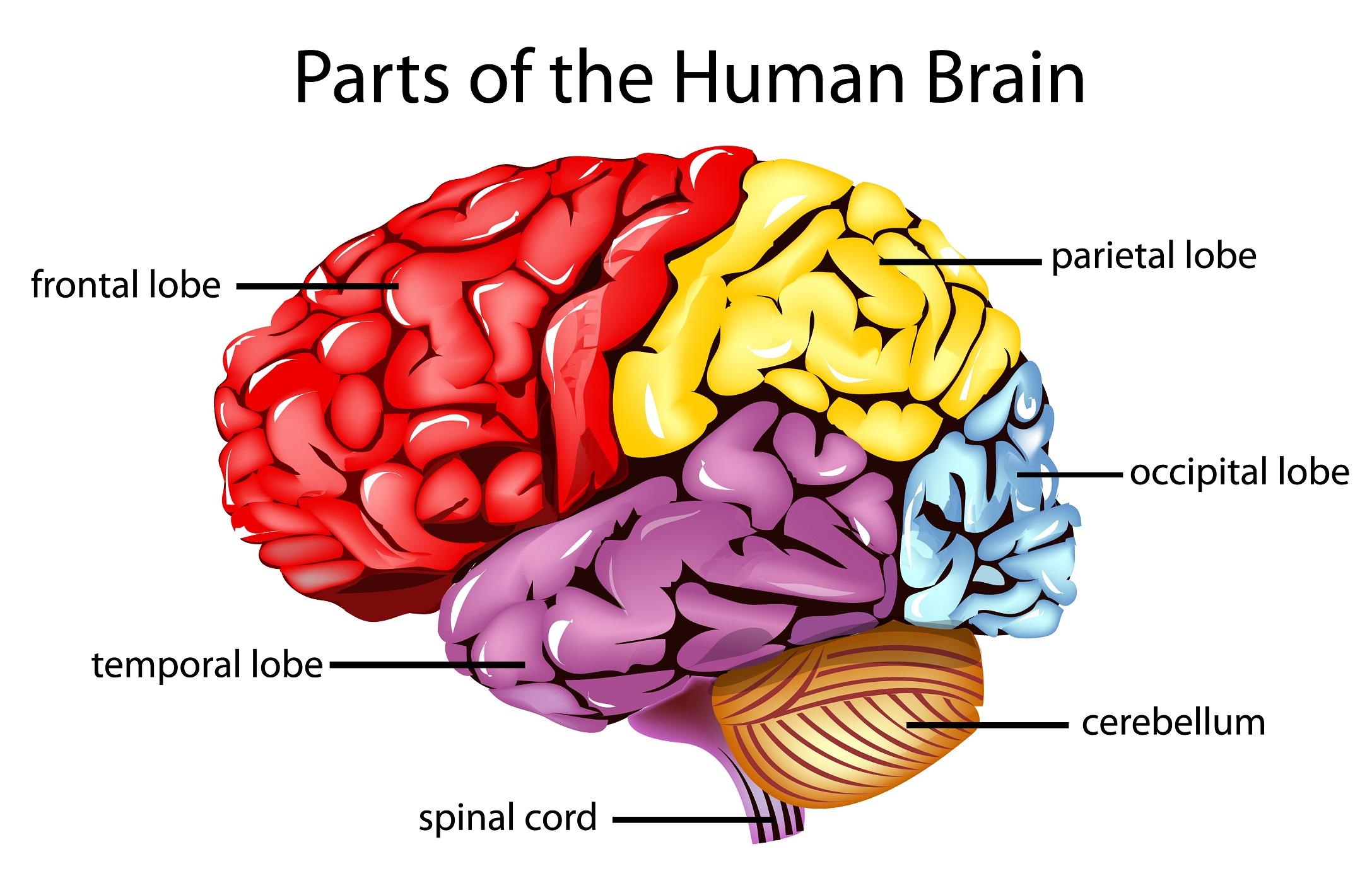 Brain clipart label. Of human simple diagram