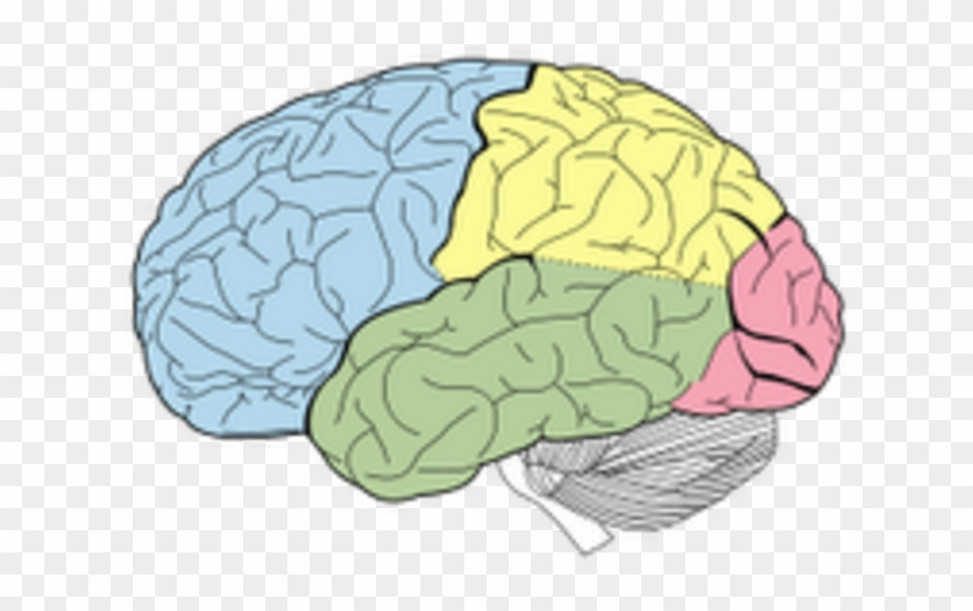 Lobes of the without. Brain clipart label