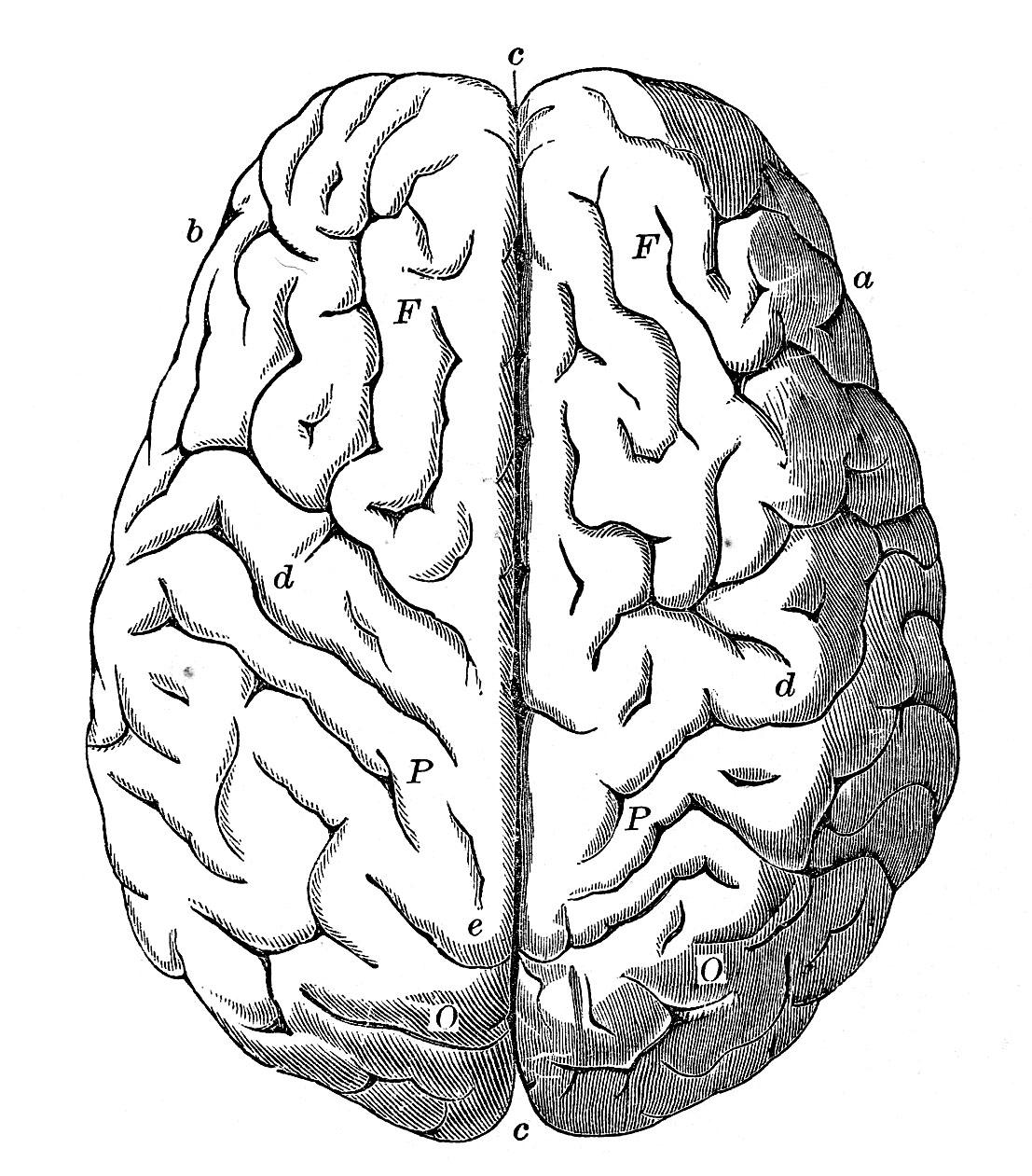 Brain clipart line art. Vintage anatomy images human
