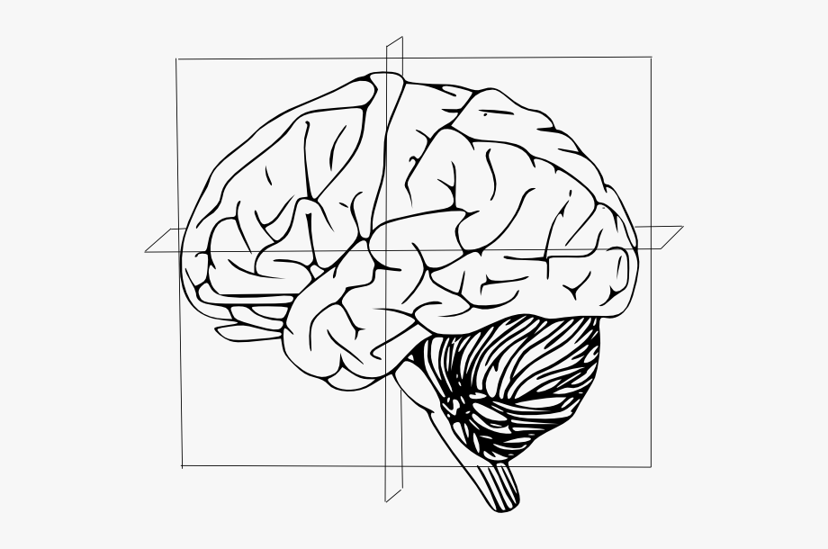 Brain clipart line art. Anatomical directions of clip