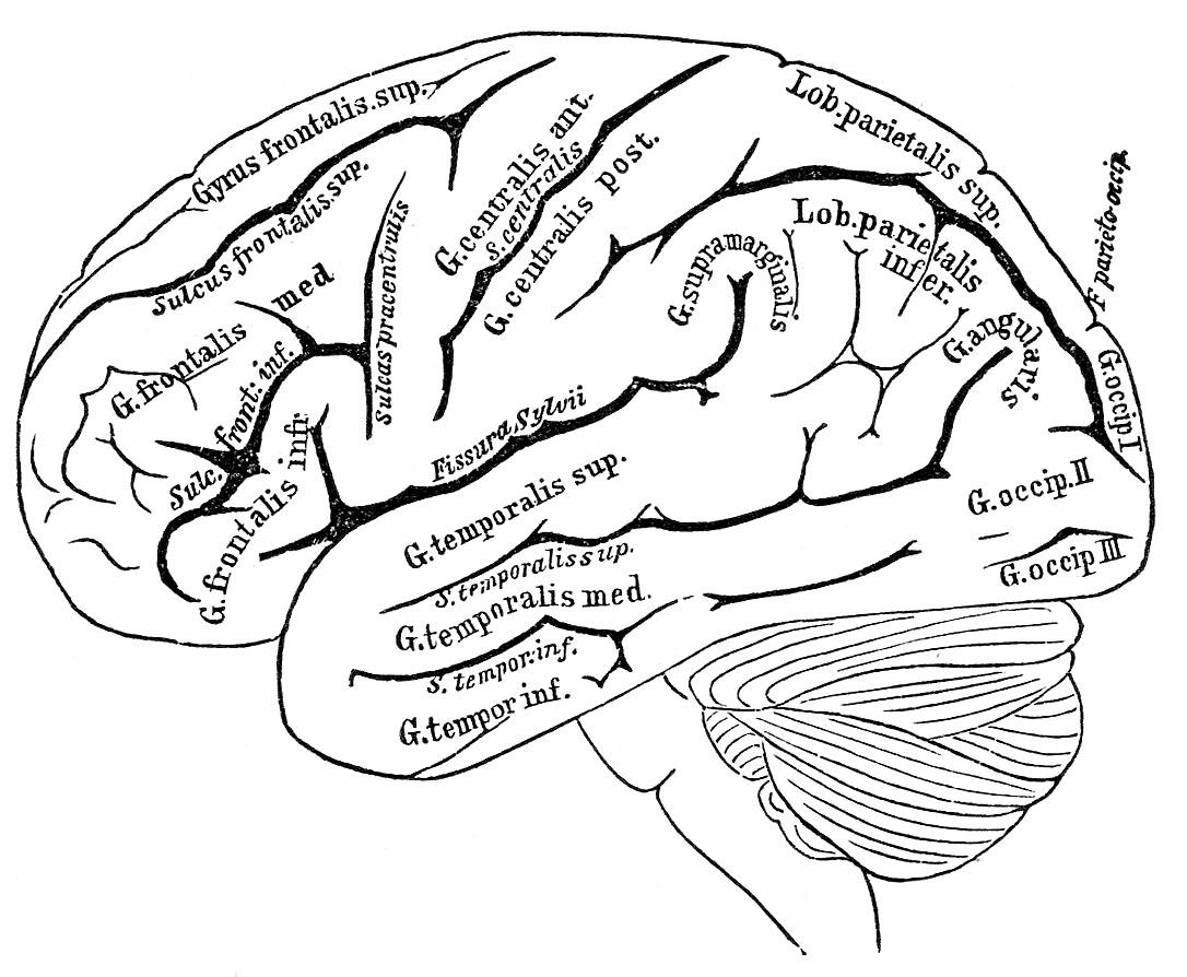 Brain clipart printable. Clip art vintage black