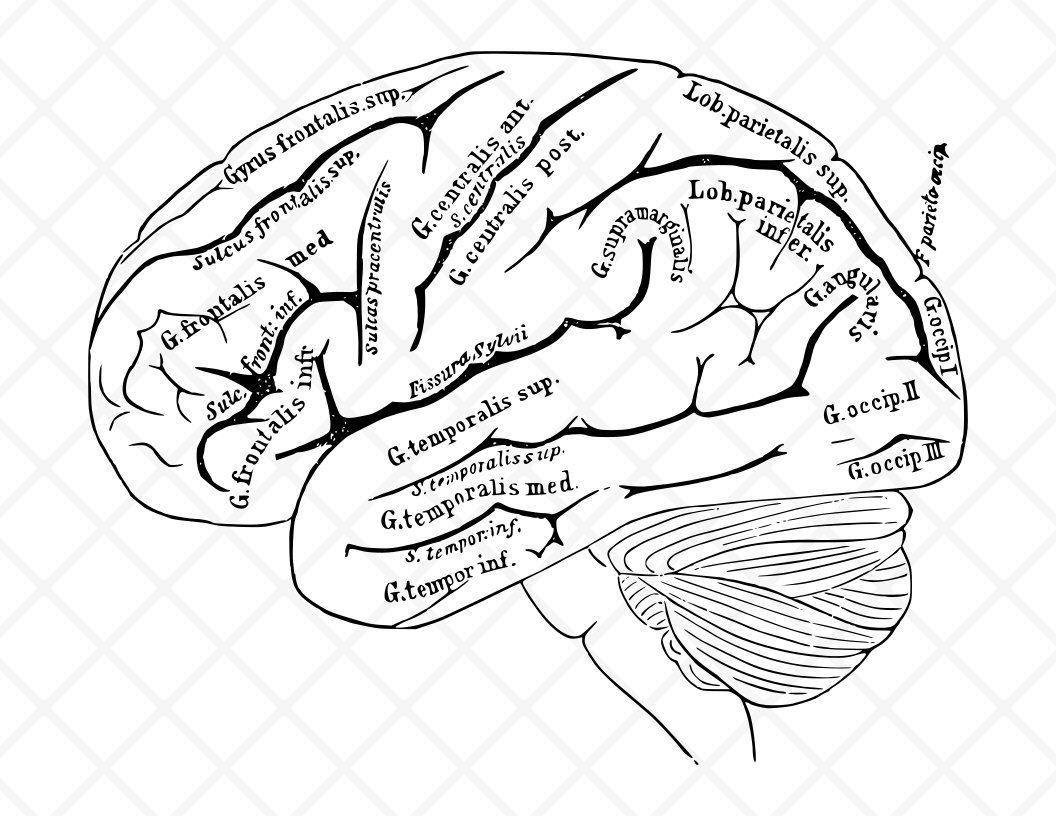 Human illustration vintage drawing. Brain clipart printable