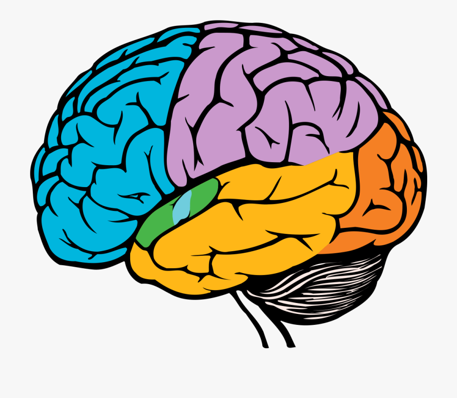 Taste easy drawing . Brain clipart simple