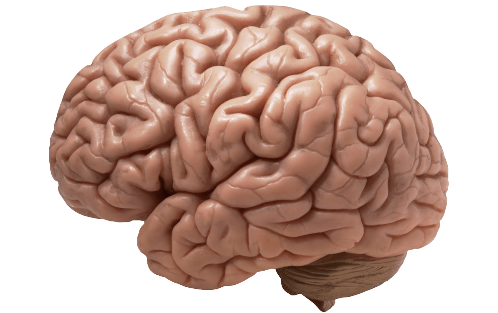 Realistic png stickpng. Brain clipart transparent background