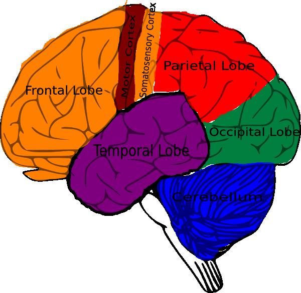 Free human brain download. Psychology clipart midbrain