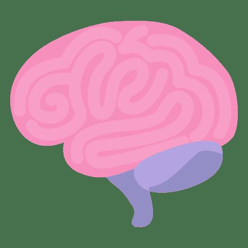 Human organ transparent svg. Brain vector png