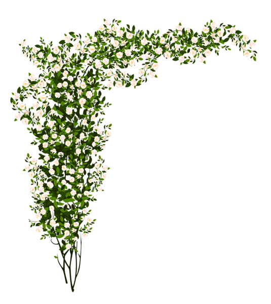 Decorative whte rose bush. Vines clipart english ivy