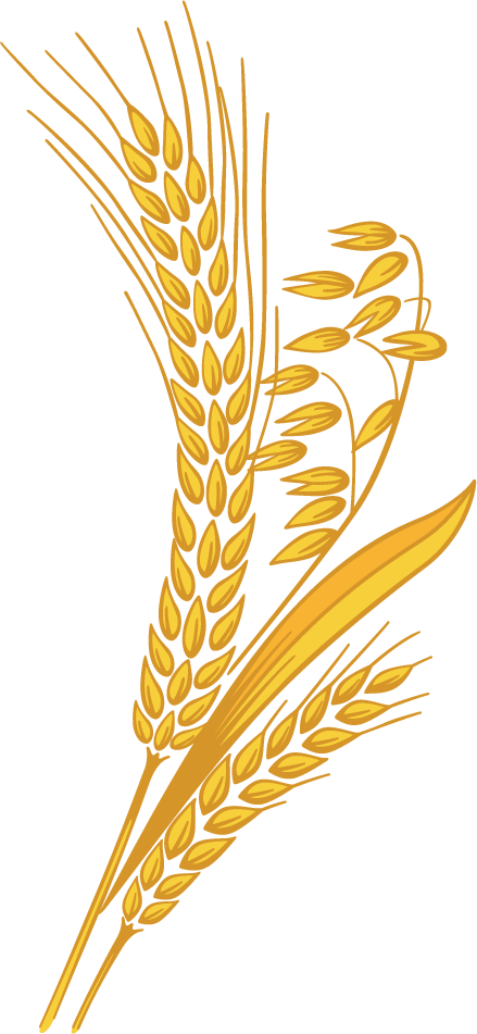 Country harvest whole grain. Wheat clipart transparent background
