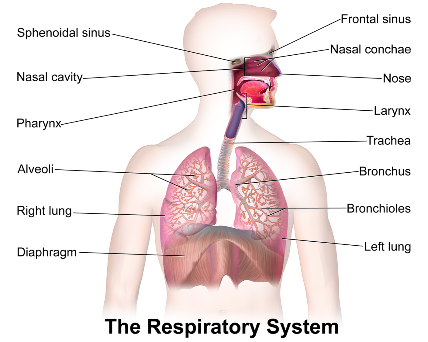 Breath clipart airborne disease. Microbes labeled diagram of